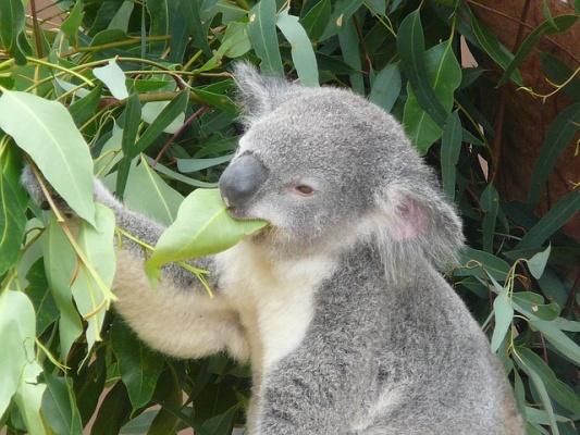koala-eukalyptus