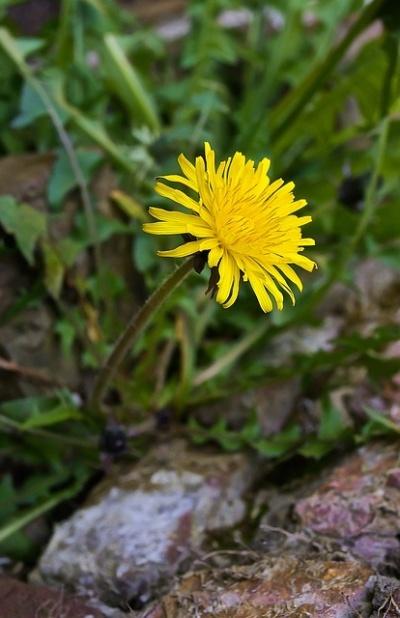 dandelion-pampeliska