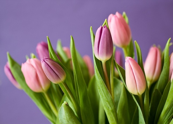 tulipan-pixabay