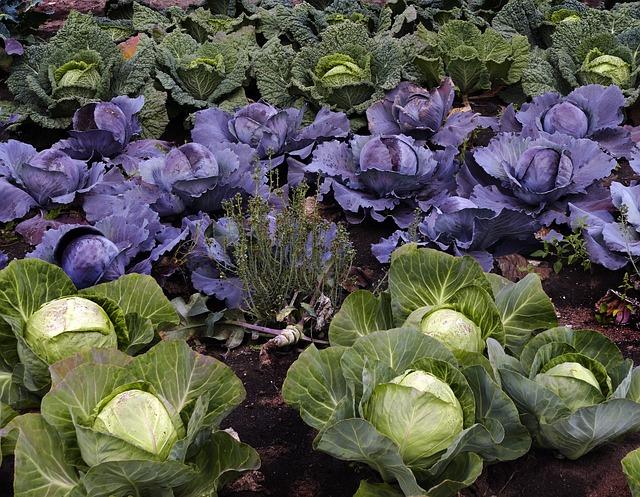 Zelí je zdravé především syrové nebo kvašené. Foto: pixabay.com