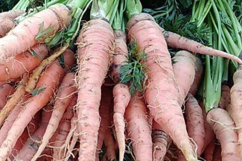 Mrkev je zeleninou, která výborně chutná a současně prospívá zdraví
