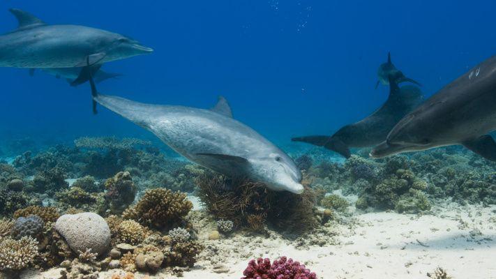 Delfíni v Rudém moři, Egypt