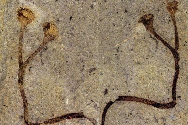 nejstarší rostlinná makrofosílie světa