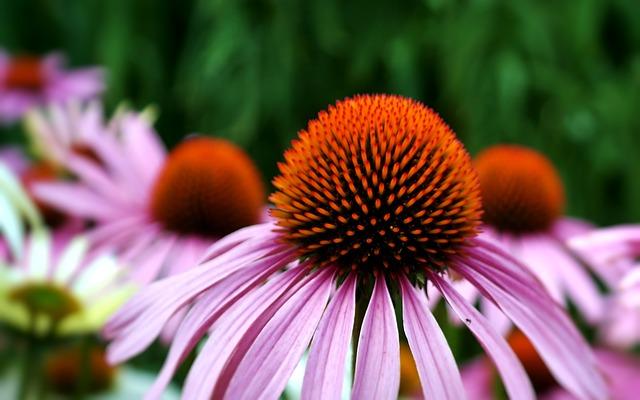 květy třapatky nachové