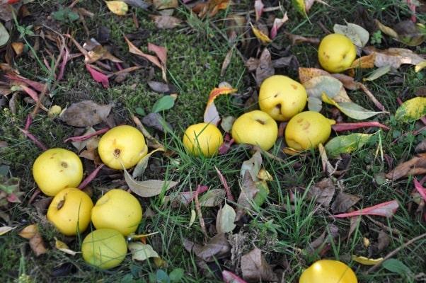 Kdoule je tradiční ovoce, dnes spíše ojedinělé. Jak s ním naložit?
