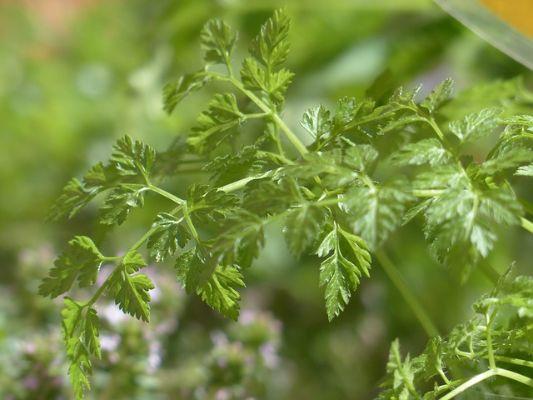 Kerblík se hlavně používá v kuchyni, prospívá i trávení