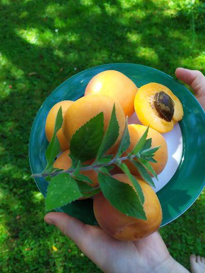 Meruňka prospívá pleti, trávení - proč ji ještě jíst