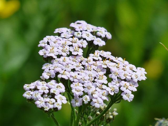 Řebříček obecný - ženská bylinka, která pomáhá i trávení