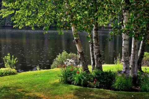 Bříza není jen zdroj pylu, mladé listy čistí organismus