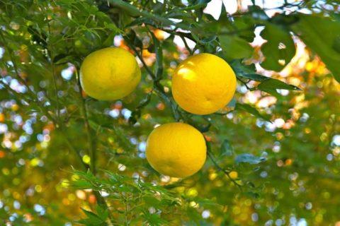 Yuzu: citrusové ovoce seženete hlavně ve zpracované podobě. Jaké má účinky