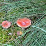 Houbařská sezóna: Pozor na jedovaté houby, vzhled často klame